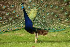 Free Peacock Royalty Free Stock Photography - 5662847