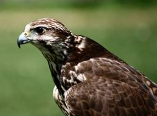 Free Bird05 Royalty Free Stock Photography - 5662947