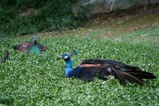 Free Peafowl Royalty Free Stock Image - 5663056