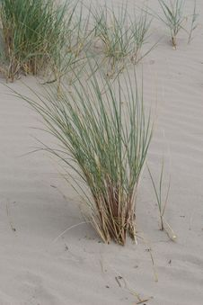 Free Marram Grass Royalty Free Stock Photos - 5663698