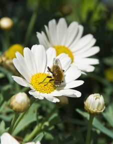 Free Two Daisies With A Small Bee Royalty Free Stock Photography - 5663837