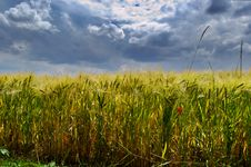 Free Wheat Field And Cloudy Sky Royalty Free Stock Photography - 5663977