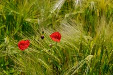 Free Poppy In Wheat Royalty Free Stock Photos - 5664158