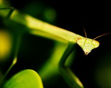 Free Juvenile Praying Mantis Stock Photography - 5664662