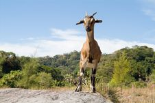Free Goat Royalty Free Stock Image - 5664856