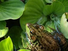 Free Frog On A Lily Pad Stock Image - 5666221