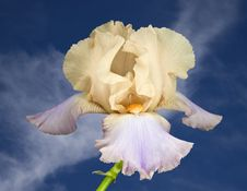 Free Yellow And Pink Iris Stock Photography - 5666232