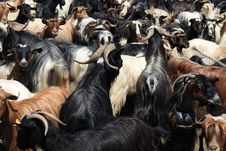 Free Goats In A Pen Stock Images - 5666244