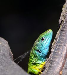 Free Green Lizard On A Black Background Royalty Free Stock Photography - 5666357