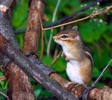 Free Careful Eastern Chipmunk Royalty Free Stock Image - 5666366