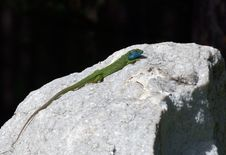 Lizard On A White Stone With Black Background Stock Photo