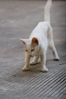 Free White Cat Royalty Free Stock Image - 5666936