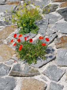 Free Poppy And Bittercress At The Stone-work Stock Images - 5666944