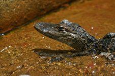 Free Baby Alligator Stock Image - 5667341