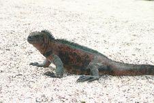 Free Galapagos Sea Iguana Royalty Free Stock Photography - 5667607