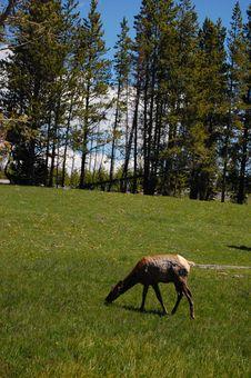 Free Grazing Elk Stock Photos - 5667803