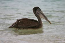 Pelican Swimming Stock Photography