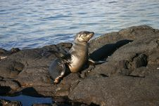 Sea Lion On Island Royalty Free Stock Images