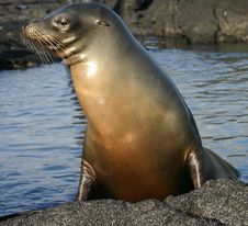 Sea Lion With Water Royalty Free Stock Images