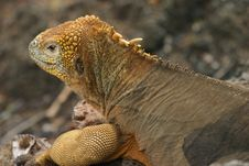 Free Galapagos Land Iguana Stock Photography - 5668372