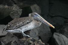Free Pelican Stock Image - 5668501