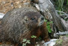Free Yellow-Bellied Marmot Royalty Free Stock Photos - 5668928