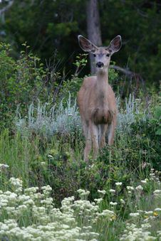 Free Mule Deer In The Flowers Stock Photo - 5668980