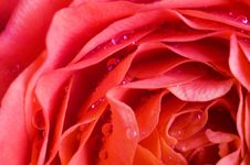 Free Beautiful Magenta Wet Roses Stock Photos - 5669233