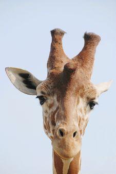 Detail Of Giraffe Head Royalty Free Stock Photography