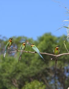 Free Bee-eater Stock Images - 5669494