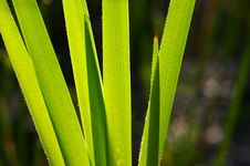 Free Bulrush Detail Stock Images - 5669994