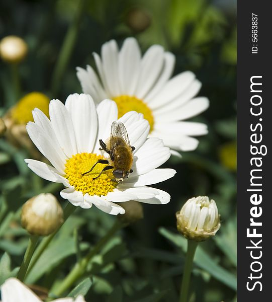 Two Daisies with a Small Bee