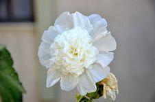 Free Hollyhock Flower Stock Photography - 56601712