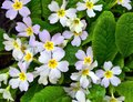 Free Primrose White - Primula Vulgaris Close Up Royalty Free Stock Photo - 56675155