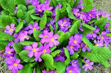Free Primrose Purple - Primula Vulgaris Close Up Royalty Free Stock Photography - 56675297