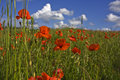 Free Red Poppies Royalty Free Stock Photo - 5675185