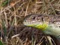 Free Lizard Stock Images - 5676164