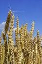 Free Wheat Stock Photography - 5676442
