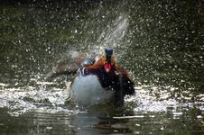 Free Mandarin Duck Royalty Free Stock Photo - 5670215