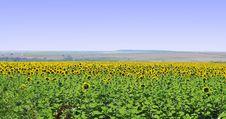 Free Sunflower Field Royalty Free Stock Photos - 5670528