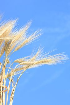 Free Wheat Stems. Stock Photos - 5670973