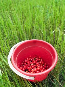 Red Cherry Bucket In Green Field Royalty Free Stock Photos
