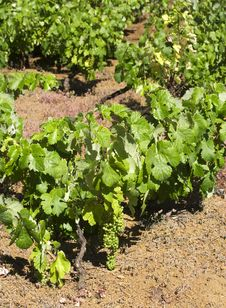 Free Vine On Red Earth, El Hierro Stock Photography - 5671872