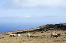 Free Grazing Cows On Highlands Of La Dehesa, El Hierro, Stock Images - 5672054