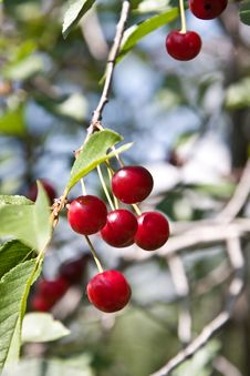 Free Berries Of A Cherry On A Branch Royalty Free Stock Photo - 5673085