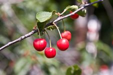 Free Berries Of A Cherry On A Branch Royalty Free Stock Images - 5673129