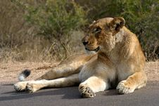 Lioness Basking In The Sun