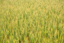 Free Wheat Field Background Royalty Free Stock Images - 5673239