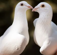 Free White Pigeons Couple Royalty Free Stock Photo - 5673595
