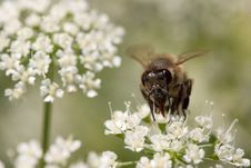 Free Honey Bee Macro Stock Images - 5673754